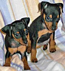 Manchester Terrier toy dog puppies