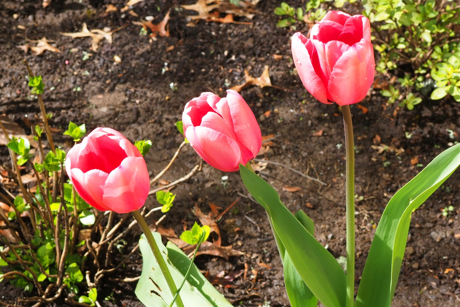 flatten the curve, coronavirus COVID-19 quarantine, COVID-19 quarantine, flattening the coronavirus curve, how to flatten the curve, activities that help to flatten the curve, spring garden, spring tulips, pink tulips, spring pink tulips, tulip garden bed, spring gardening, tulips in spring