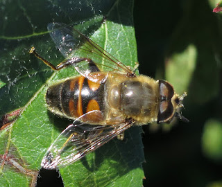 Hoverfly on a green leaf.