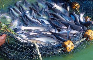 gambar beberapa ciri lengkap ikan lele mengalami sakit