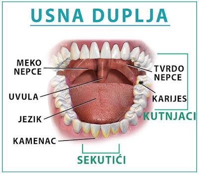 Građa usne duplje - Nešković Dent, Novi Sad