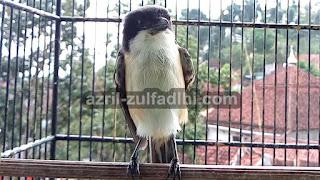 Burung Cendet Muda Hutan