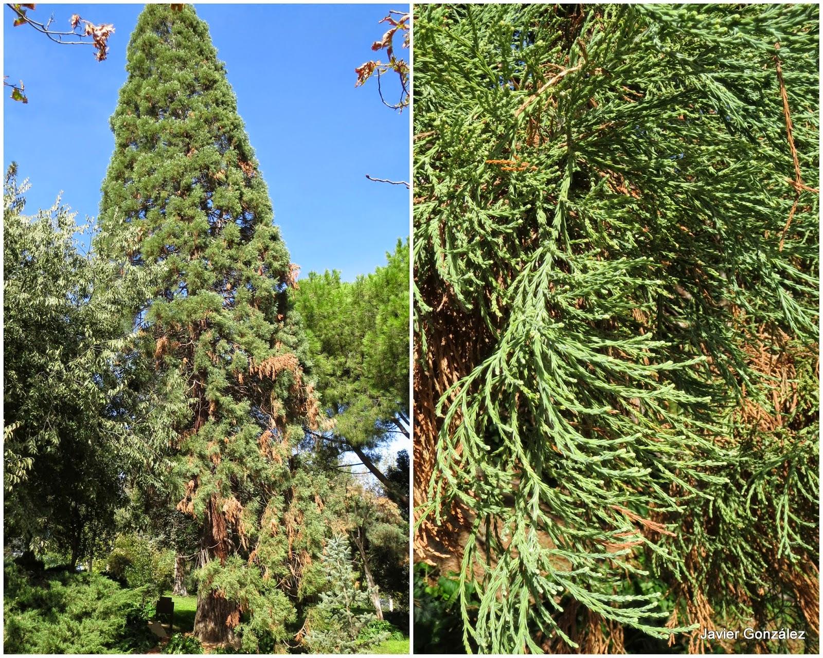 Parque del Retiro. Secuoya gigante / Giant Sequoia