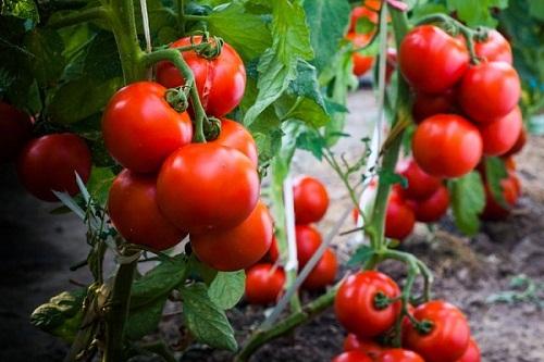Manfaat Pemberian Tomat Untuk Ayam Aduan