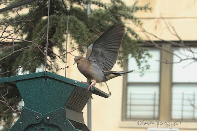 "This image features a Mourning dove ""standing"" on top of a bird feeder that is shaped like house. The feeder is made of metal and is hunter-green in color. One of the bird's feet is on top of the feeder, the other is dangling below it. The feet are pink as is the case with all mourning doves. The one featured here has his wings wide open.   Mourning doves are featured in my three volume book series, ""Words In our Beak."" Info re these books is in another post on this blog which is @ https://www.thelastleafgardener.com/2018/10/one-sheet-book-series-info.html"