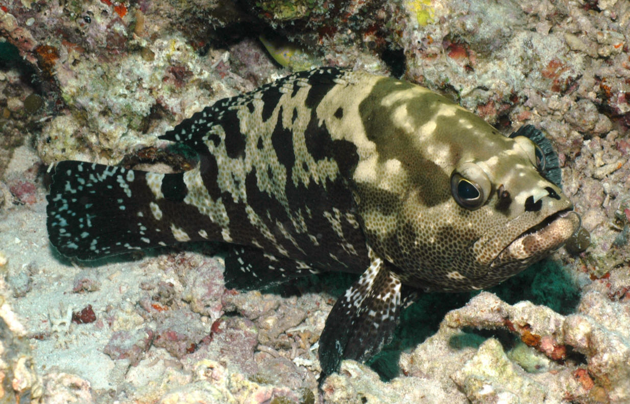 Gambar Kartun Ikan Kerapu