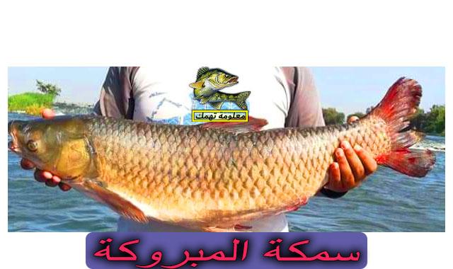 سمك المبروكة النيلى