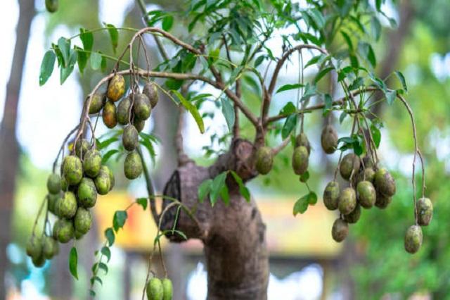 gambar daun dan buah kedondong