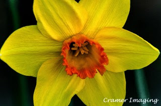 Cramer Imaging's professional quality fine art nature photograph of a blooming bright yellow daffodil flower in Pocatello, Bannock, Idaho