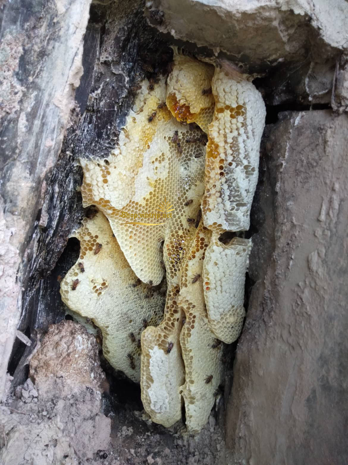 Hình ảnh thu mật tổ ong trên hốc  núi cao