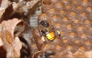 Mandaçaia (Melipona quadrifasciata)