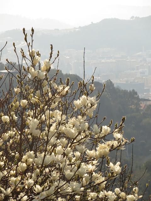 magnolia flor braga