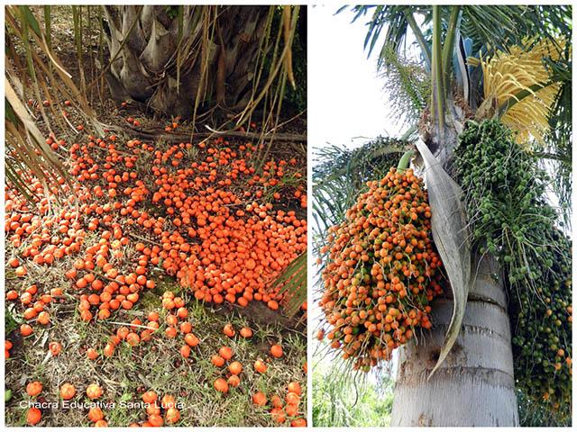 Frutos de butiá y de pindó -Chacra Educativa Santa Lucía