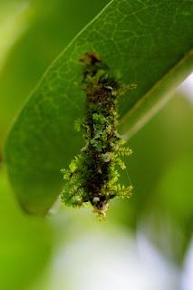 Bagworm in Puriscal, Costa Rica