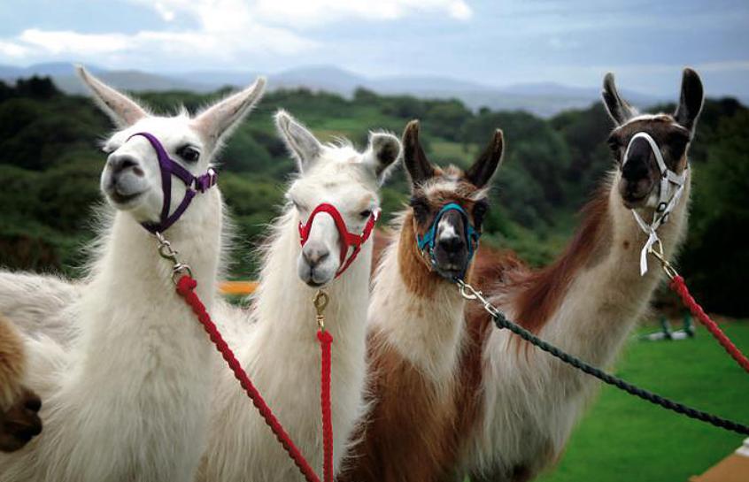 blackrock llamas