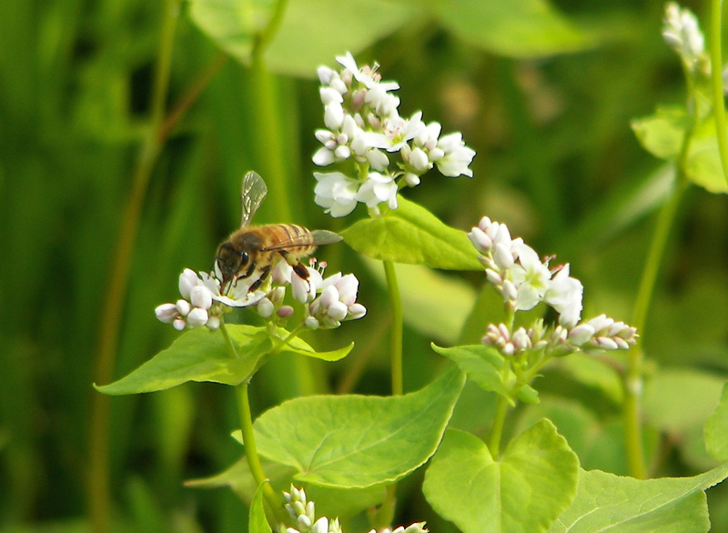 Buckwheat for bees