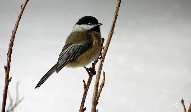 Chickadee In Snow Photo