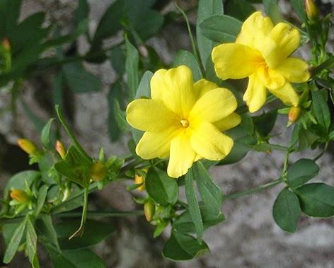 Flor del jazmín de invierno