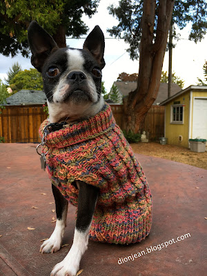 Sinead the Boston terrier in her sweater