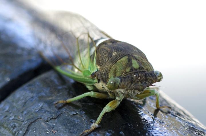 Dog Day Cicadas