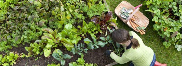 Alasan mengapa berkebun sayuran organik sangat penting untuk saat ini