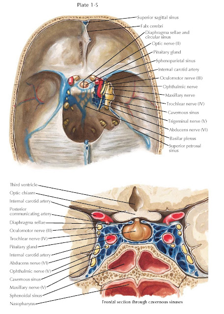 RELATIONSHIP OF THE PITUITARY GLAND TO THE CAVERNOUS SINUS