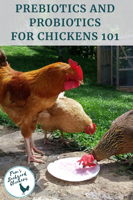 Feeding your flock a nutritious and varied diet should include prebiotics and probiotics for chickens. Learn how to provide this nutritious supplement for your birds.