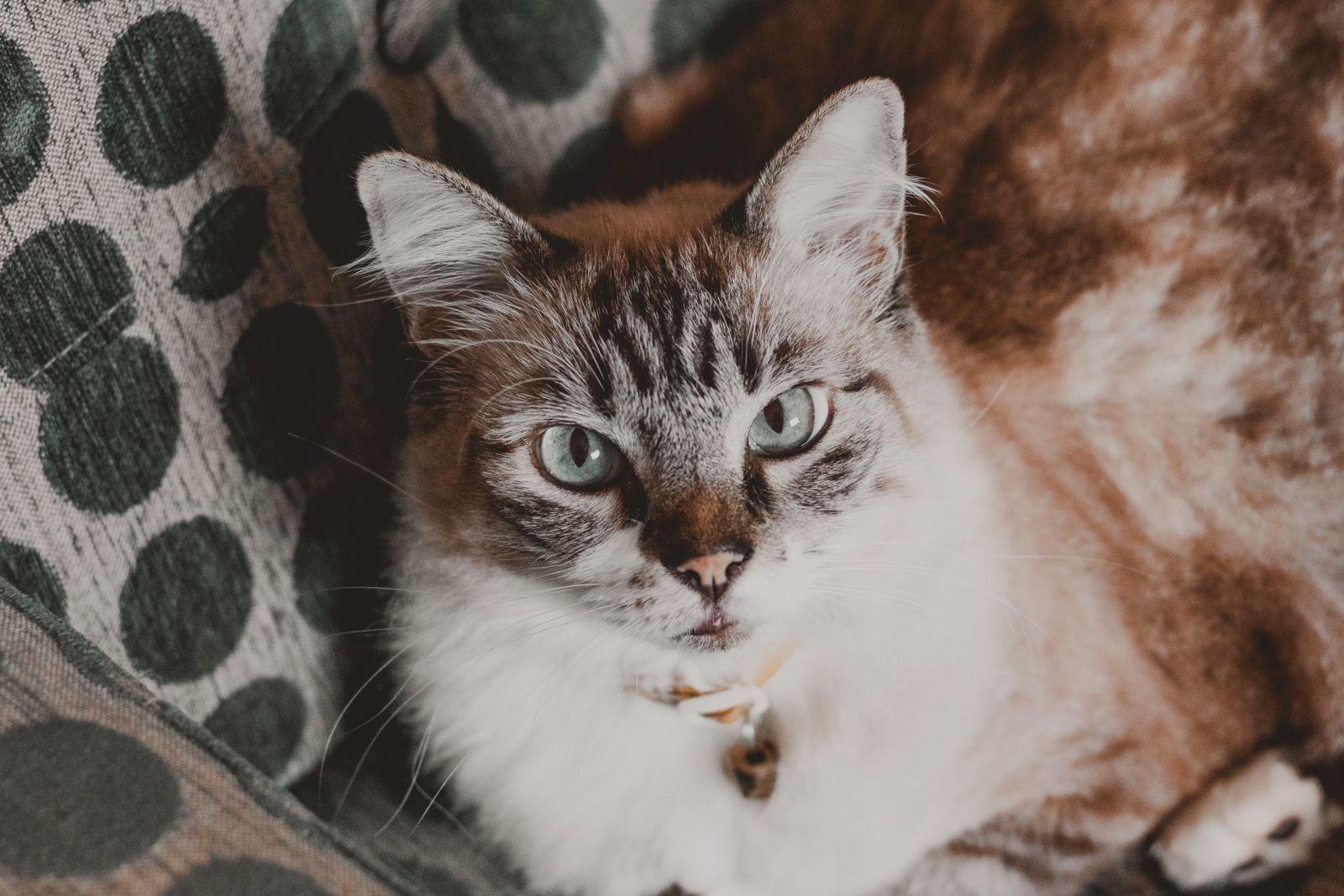 gato olhos azuis