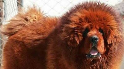 أندر سلالات الكلاب في العالم ! الجزء الثالث