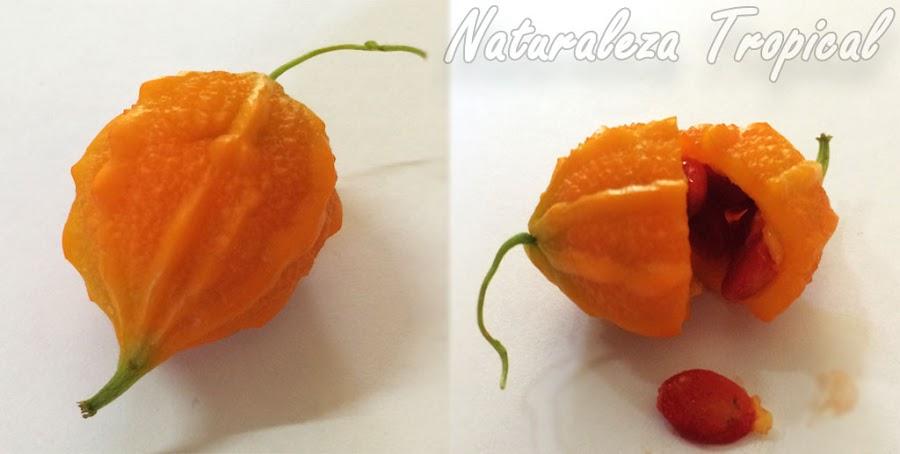 Fruto de la planta Cundeamor o Melón Amargo, Momordica charantia