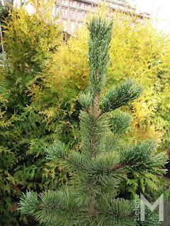 Sosna oścista (Pinus aristata)