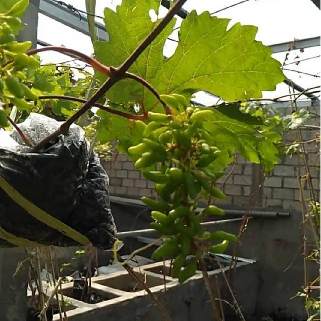 Anggur import berkualitas jenis ninel valid Kalimantan Timur