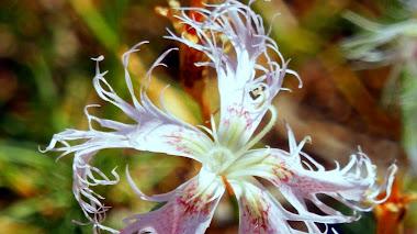 Dianthus broteri: clavelinas de pluma