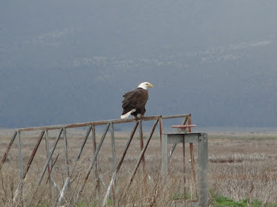 bald eagle klamath wildlife refuge