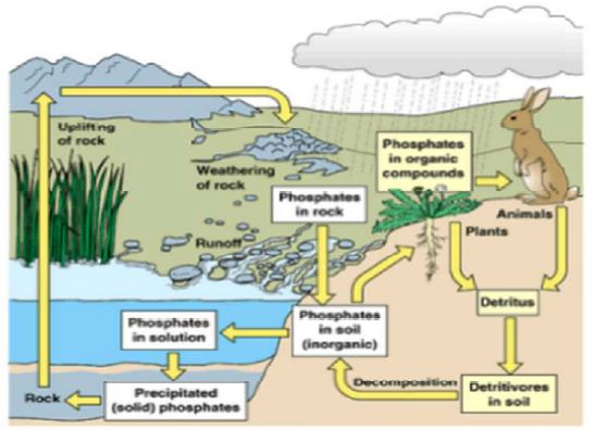 Gambar Siklus fosfor - Sumber: eochemistry.wikispaces.com