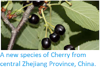 http://sciencythoughts.blogspot.co.uk/2013/08/a-new-species-of-cherry-from-central_9.html