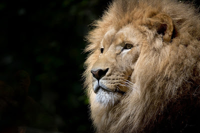 Wild Animals Lion  HD  image