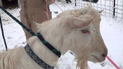 Saanen Goat Disadvantages, Advantages, Facts, Price