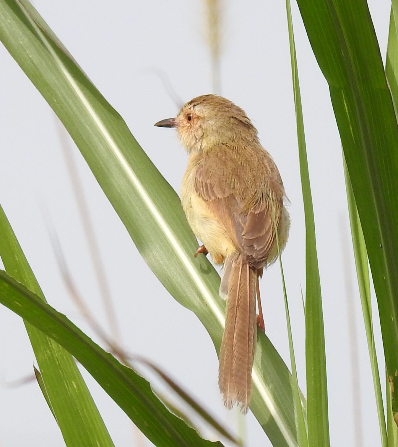 Peter's Blog: 褐頭鷦鶯
