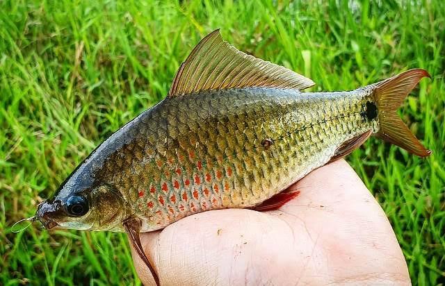 Ciri Ciri Ikan Nilem