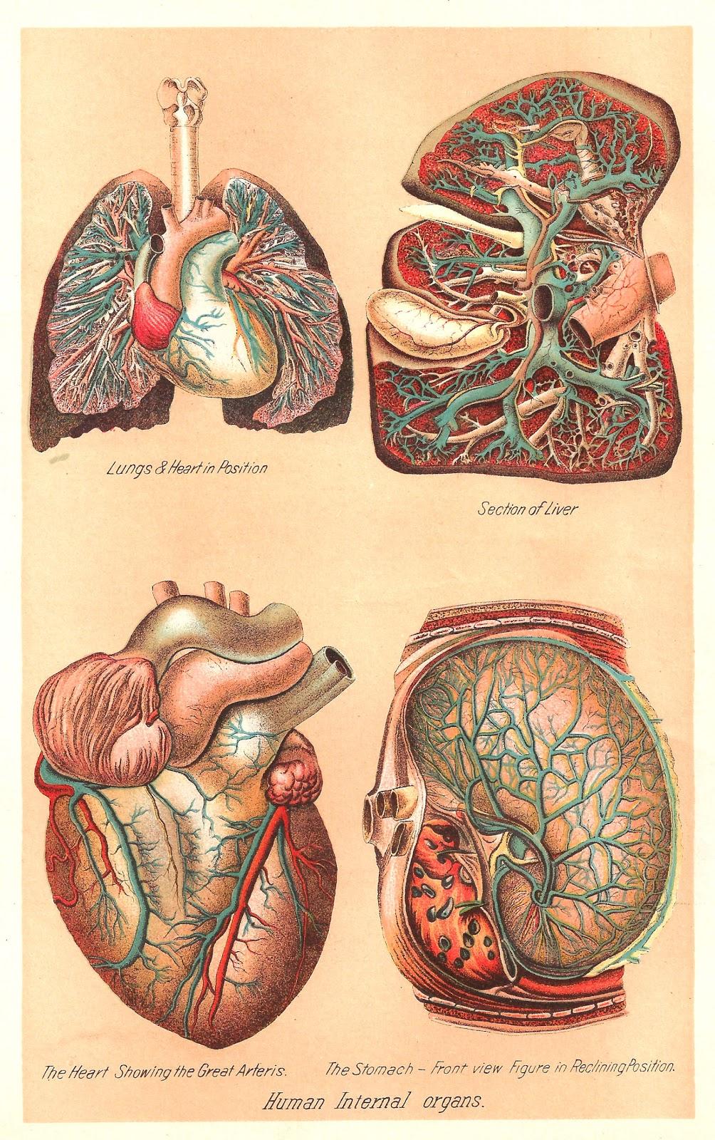Antique Images  Vintage Medical Clip Art  Human Body Graphic Of 4 Human Internal Organs