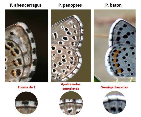 Pseudophilotes ibéricas