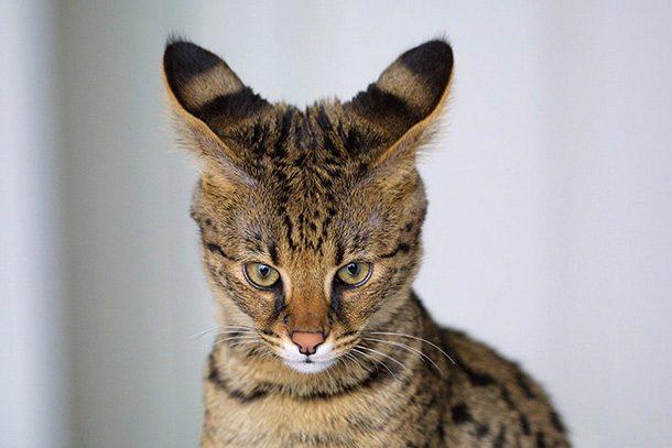 ـ قط السافانا اغرب القطط في العالم