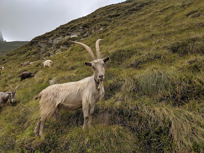 A goat on the way down from Rifugio Benigni.