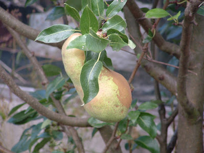 A pear growing on a branch