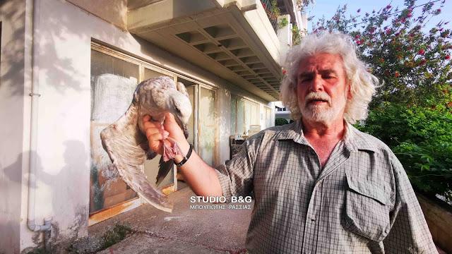 Ασημόγλαρος στο Ναύπλιο σώθηκε από βέβαιο θάνατο (βίντεο)