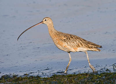 Photo of Long-billed Curlew