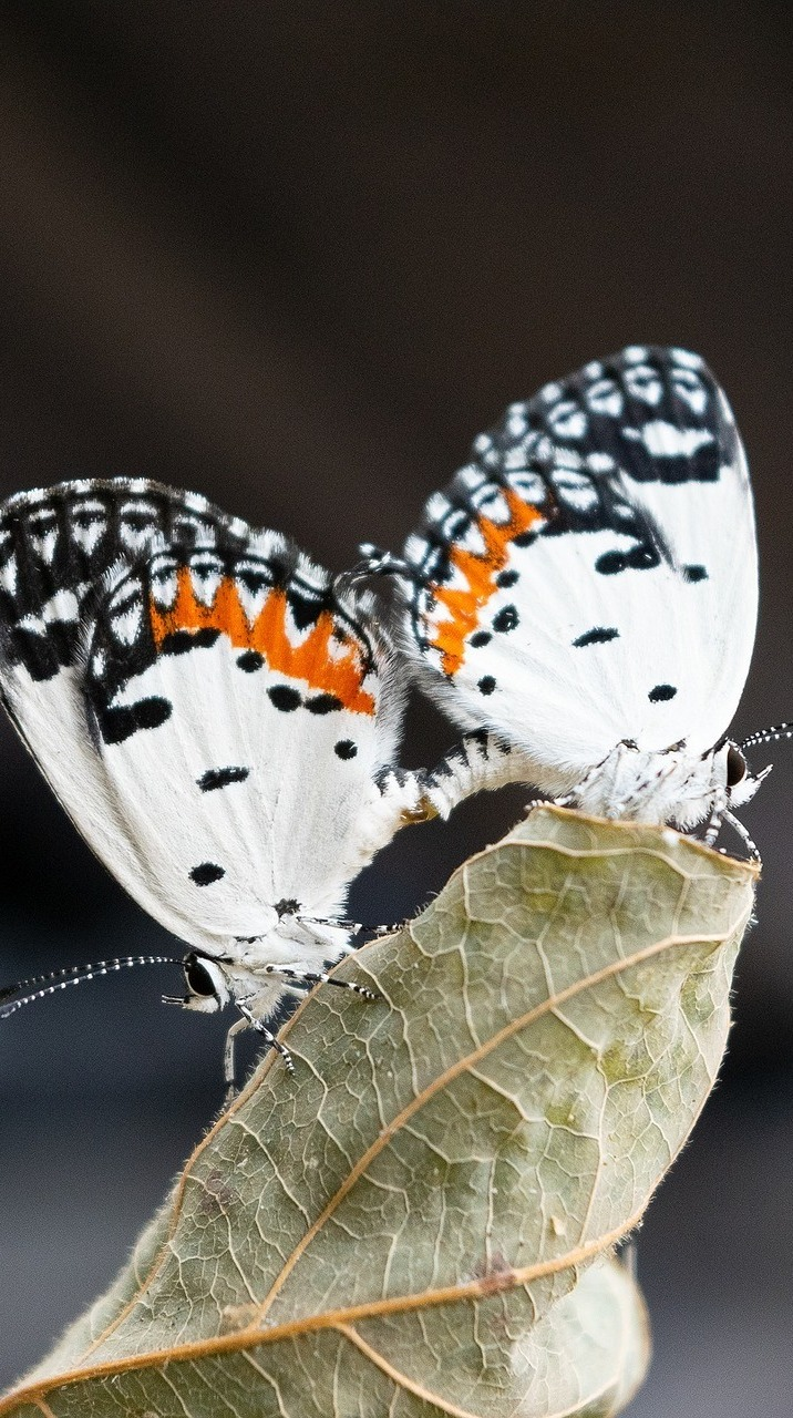 Beautiful pair of butterflies.