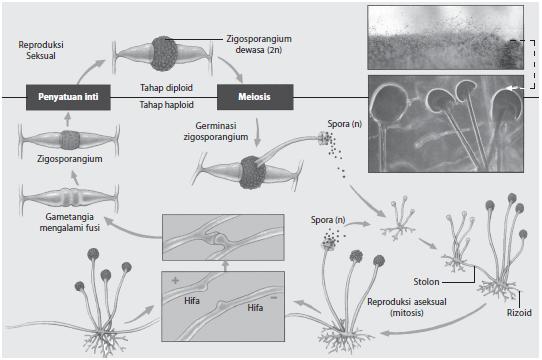Reproduksi aseksual dan seksual pada Zygomycota