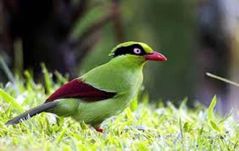 gambar burung geling jawa